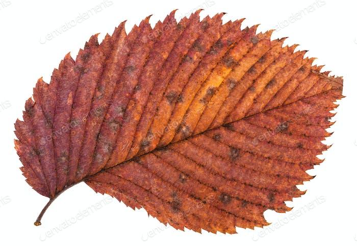 Pied roten Herbstblatt Ulme isoliert