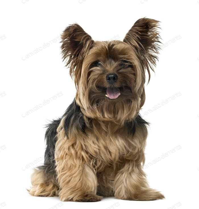 Yorkshire Terrier sticking the tongue out, isolated on white