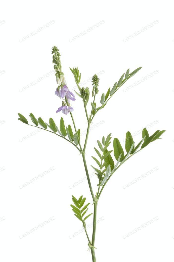Twig of Galega officinalis