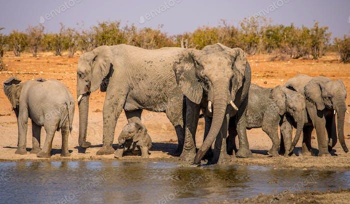 African elephant00031