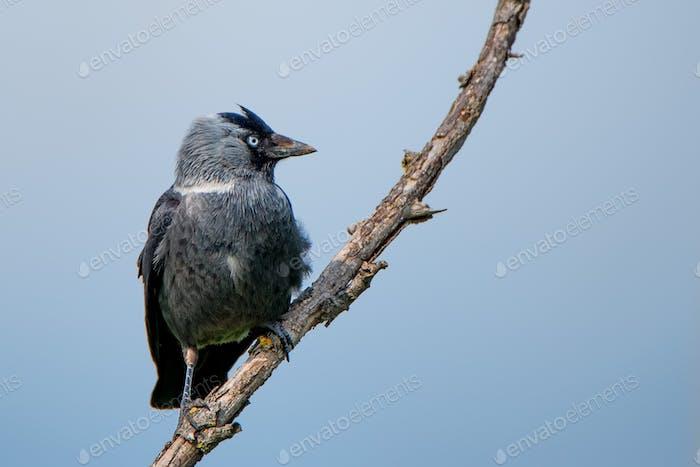 Western jackdaw or Corvus monedula