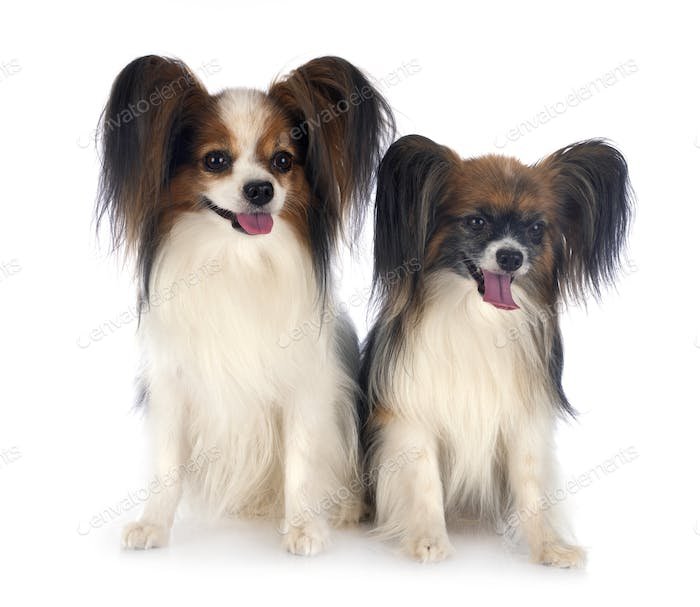 papillon dogs in studio