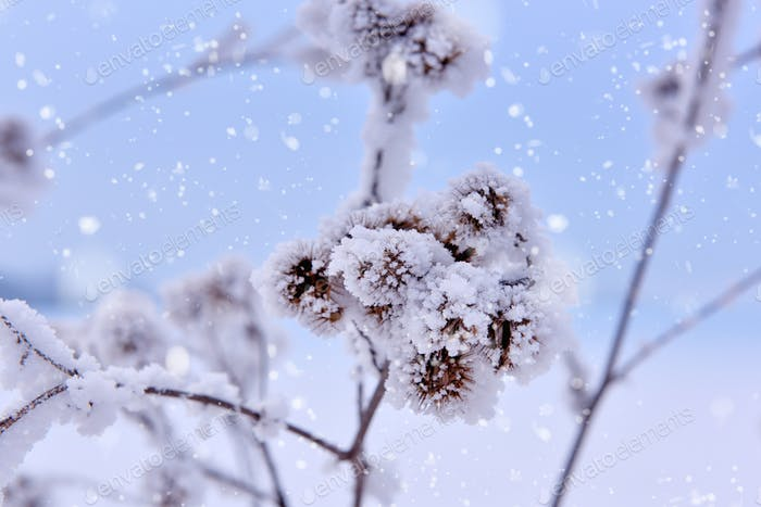 Dried flowers covered with hoar frost. Outdoors, frosty snowy da