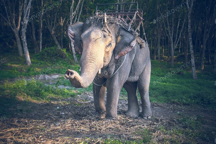 Thailand, riding elephant looks into camera at background of jungle and sand ground. Exotic animal
