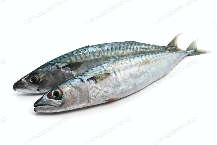 two fresh mackerel