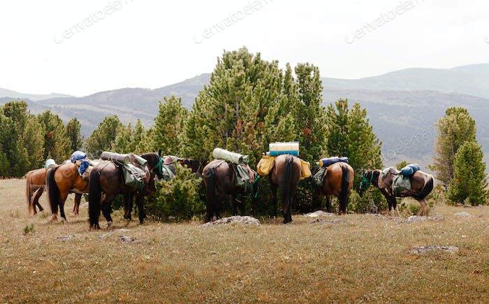 Pferde mit Satteltaschen und Reisematten