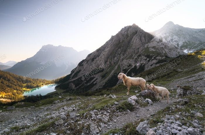 sheep with lambs in high mountains at sunrise