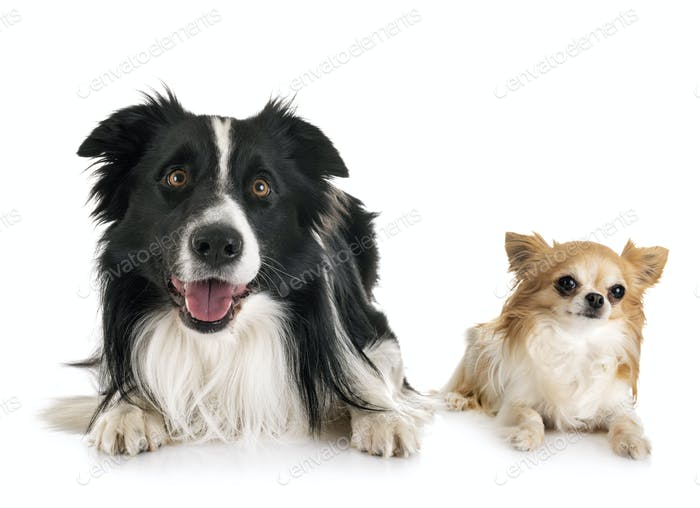 adult border collie and chihuahua