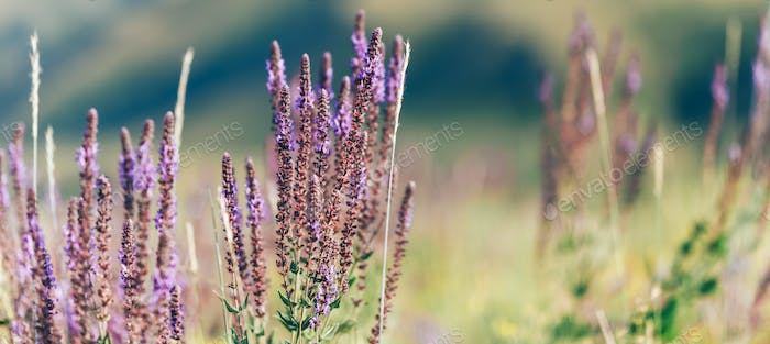 Field of clary sage