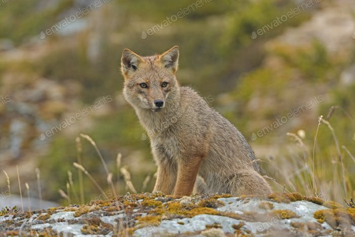 Andean Fox Looking for Prey