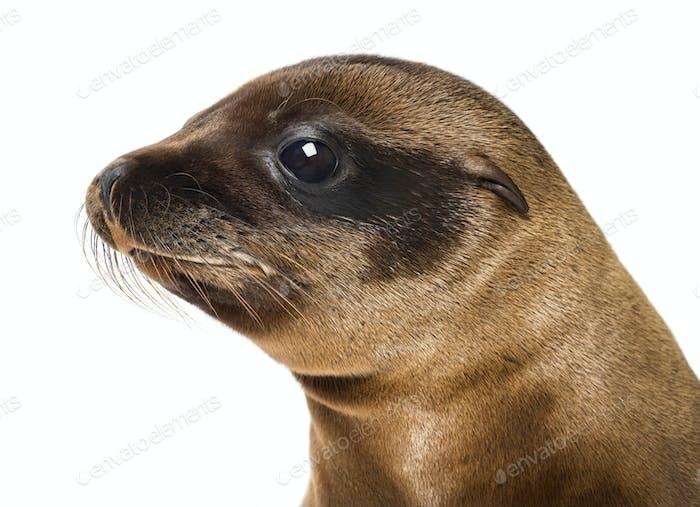 Young Close-up of a California Sea Lion, Zalophus californianus