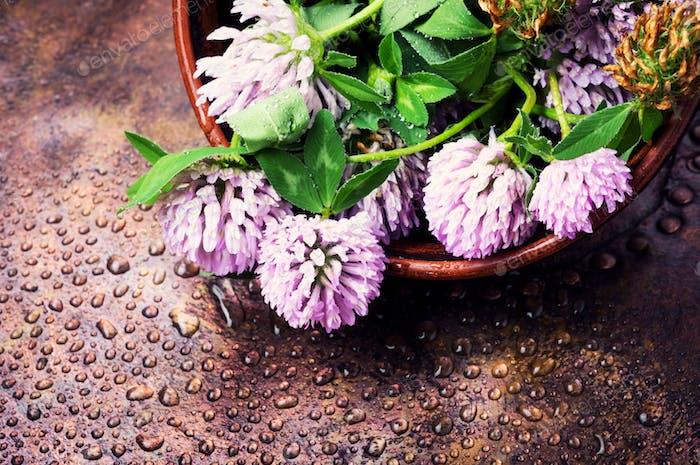 Clover medicinal herbs