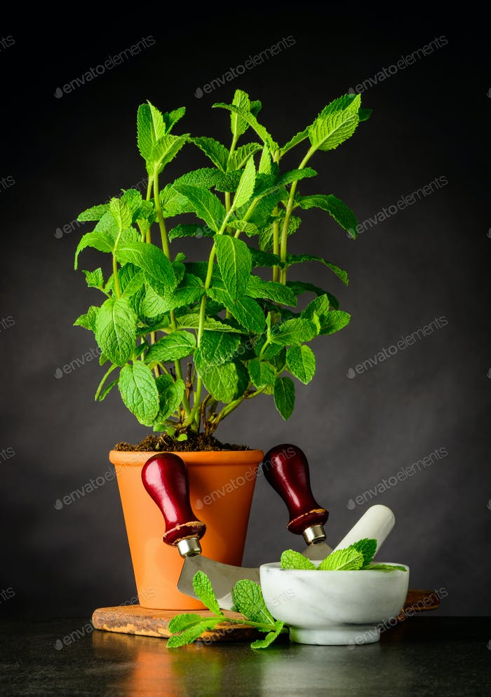 Mint Plant with Pestle and Mortar Growing in Pot