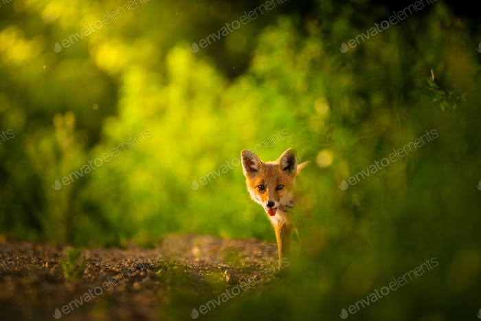 Thumbnail for Red fox cub , Vulpes Vulpes
