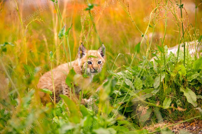 Insecure and Vulnerable Lynx Cub Sitting Amidst Plants In Forest