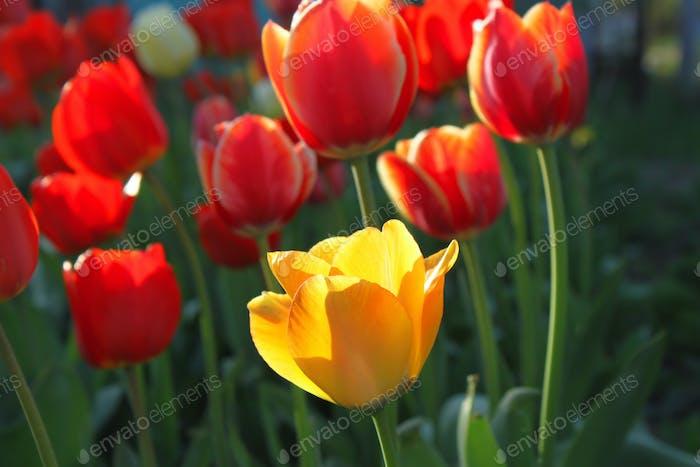 Schöne leuchtend rote und gelbe Tulpen