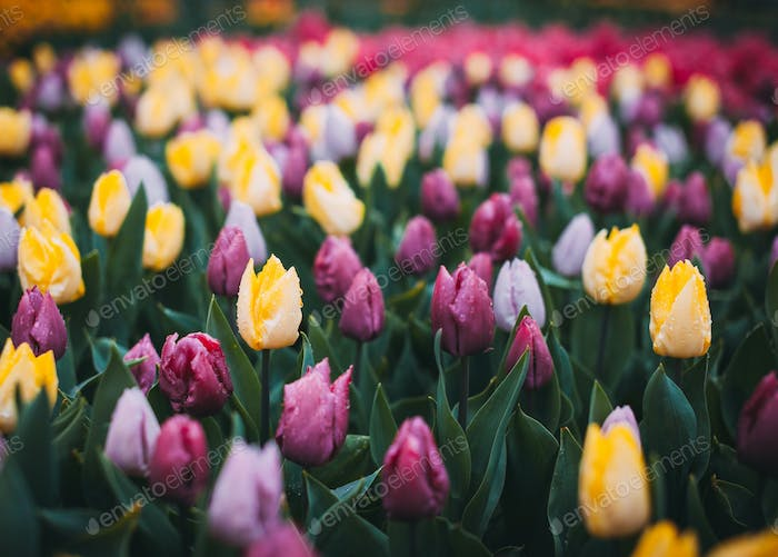 Tulips. Beautiful multicolored flowers in spring park, floral ba