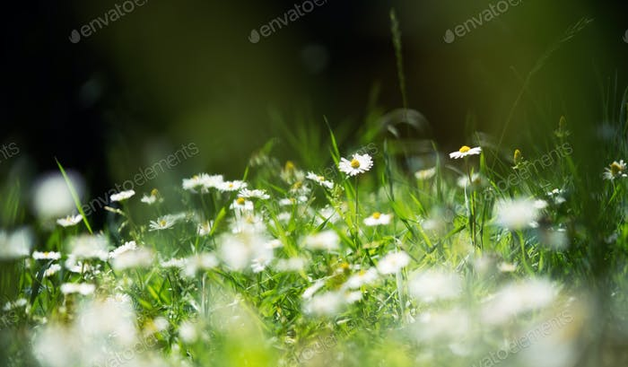 Summer field with white daisy flower at summer