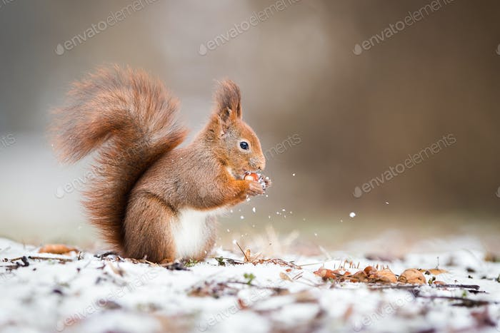 Wild red squirrel holding a nut in park and standing on snow