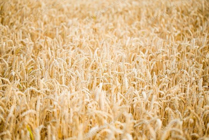 Field of rye. Wheat of field.