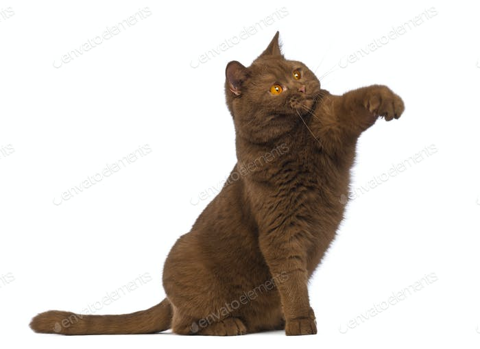 British Shorthair, 20 months old, sitting and reaching with its paw in front of white background