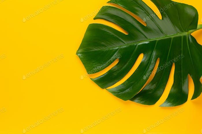 Monstera leaf on color background.