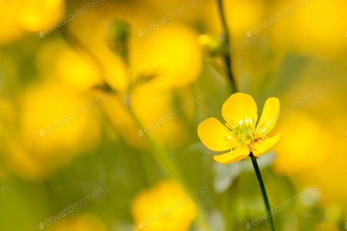 meadow buttercup flowers in full bloom