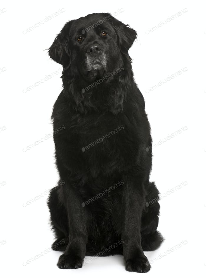 Newfoundland dog, 6 years old, sitting in front of white background