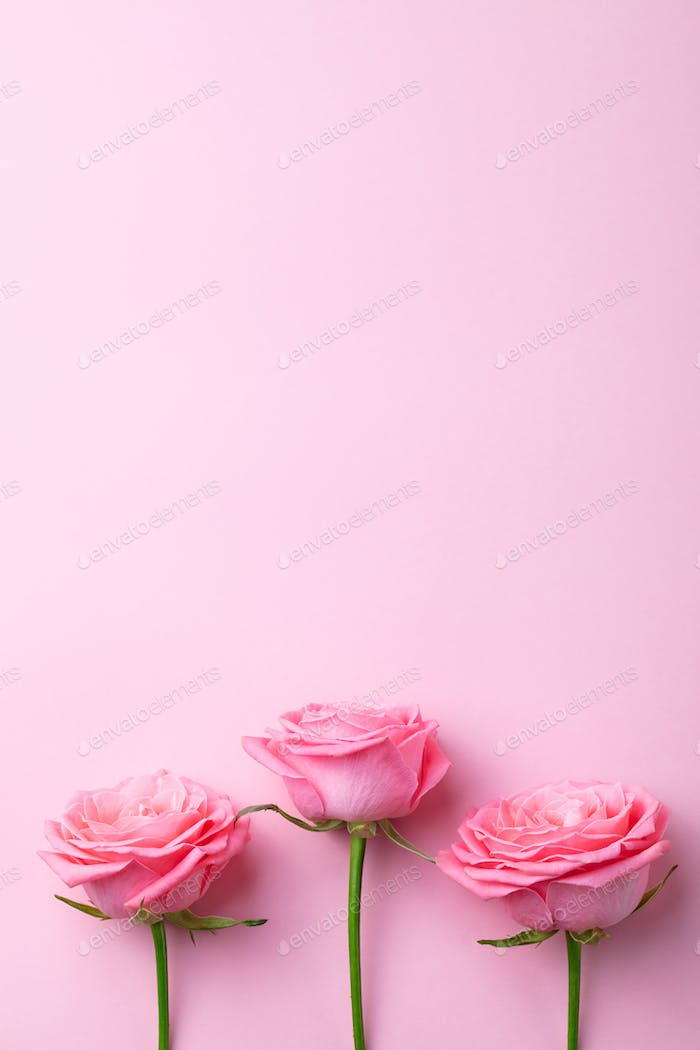 Rose Flower on Pink Background. Top view. Copy space.