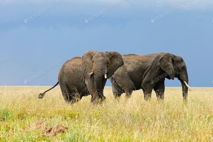 Der afrikanische Busch-Elefant