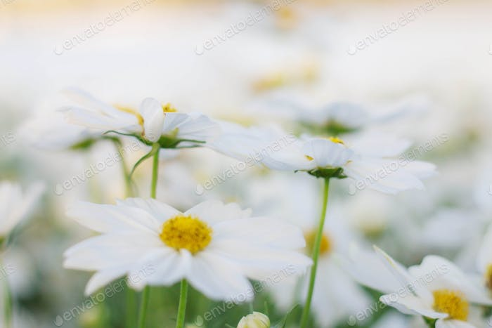 White cosmos with pure
