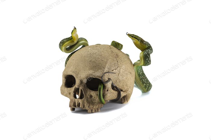 Snake on the skull Halloween concept isolated on white background