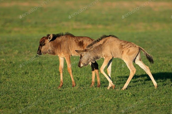 Blue wildebeest calves