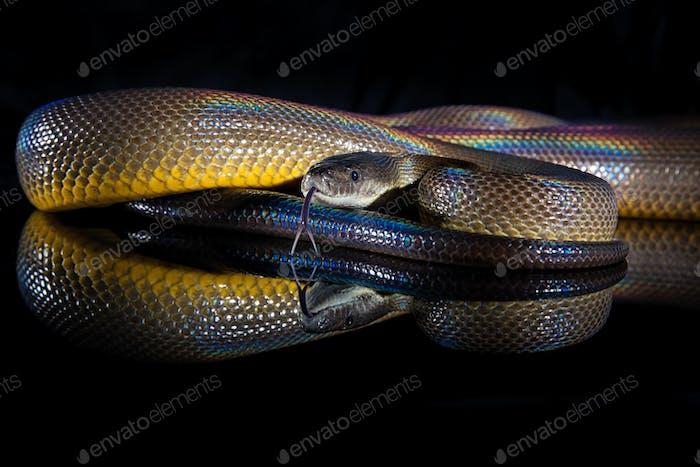 Rainbow Serpent Water Python - Liasis fuscus - isolated on black