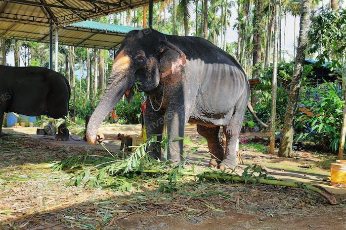 Elephants in Munnar, Kerala, India