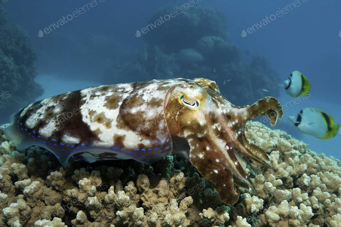 Cuttlefish hovering over hard coral head, camouflaged by its skin pattern.