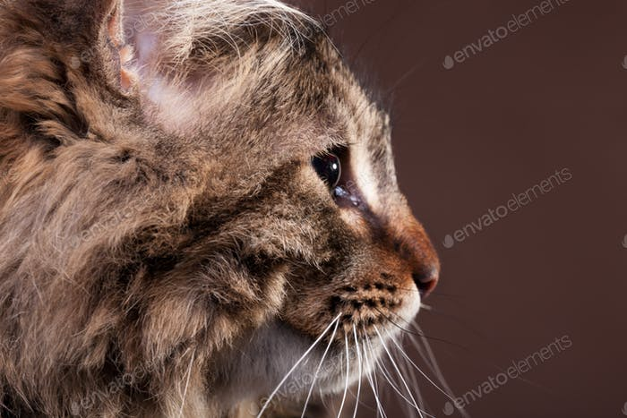 Thumbnail for Gorgeous maine coon cat in profile on brown background