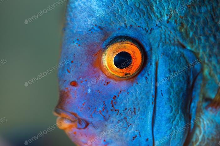 Closup von Blue Diamond Discus Fischen, detaillierte Mund- und Augenansicht