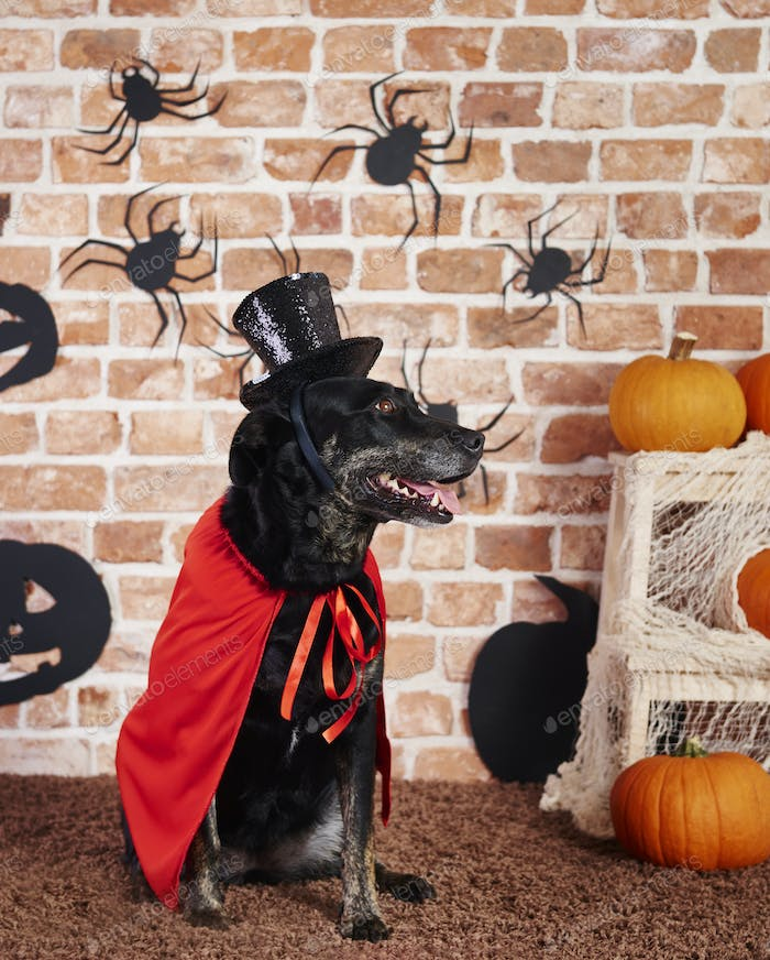 Dog wearing red cape and black hat