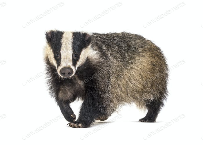 European badger walking towards the camera, six months old, isol