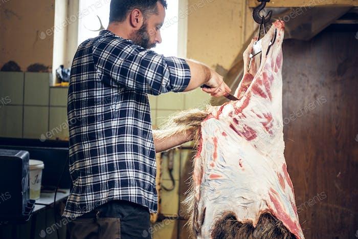 Bartmetzger schneidet die Karkasse von Wildschweinen auf.