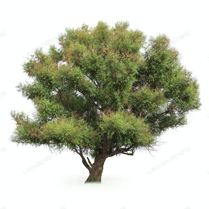 big poplar tree