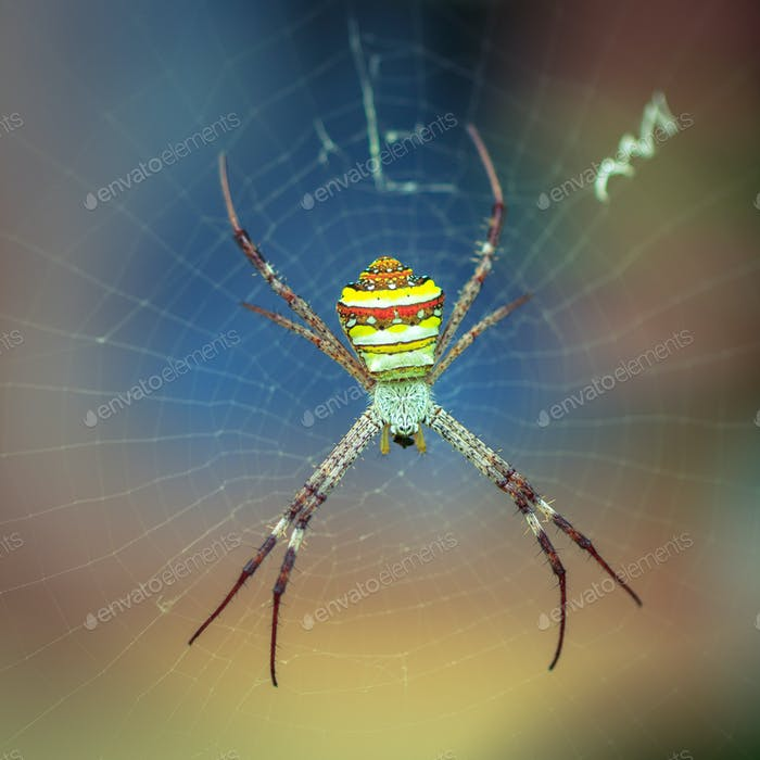 Large tropical spider - nephila (golden orb) in the web