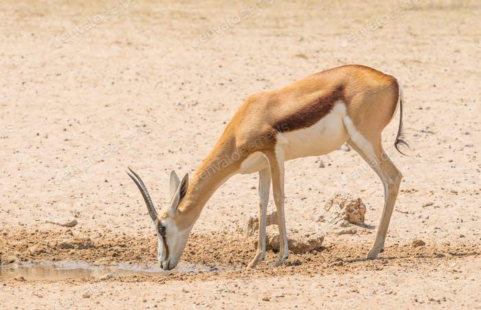 A Female Springbok at a Waterhole