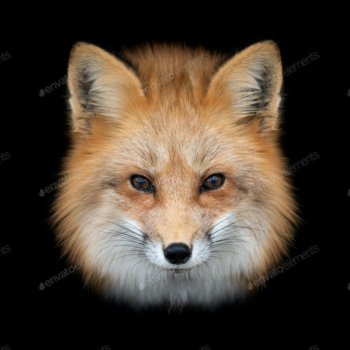 Red fox  on dark background