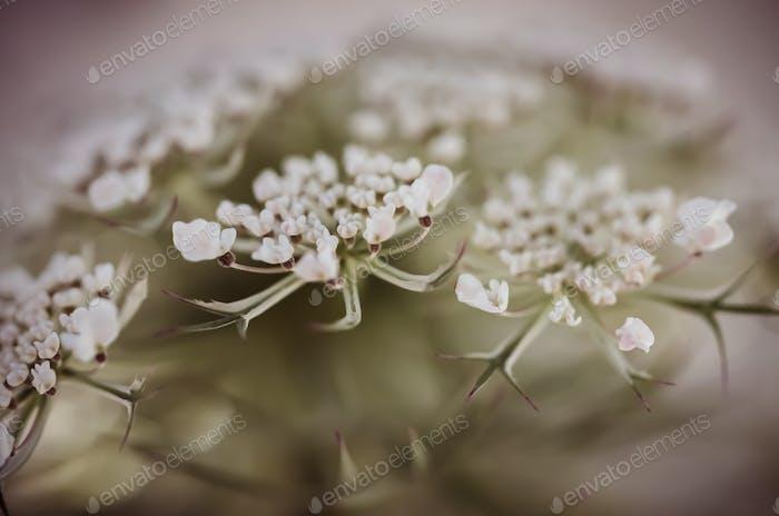 Queen Ann Flower Dark