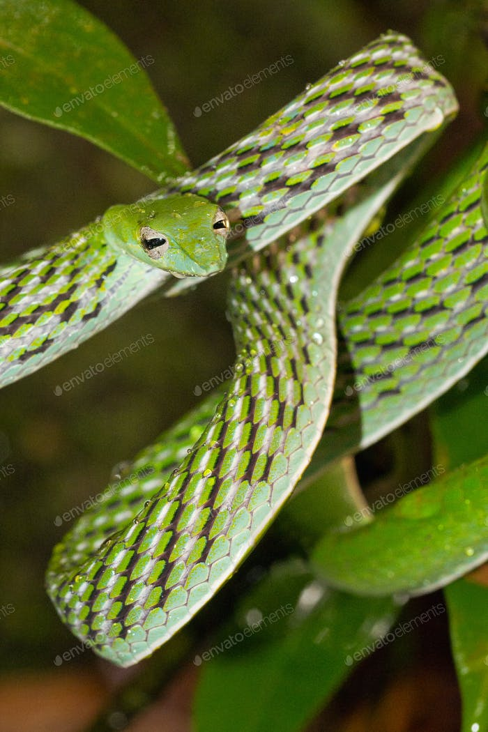 Green Vine Snake, Sinharaja National Park Rain Forest, Sri Lanka