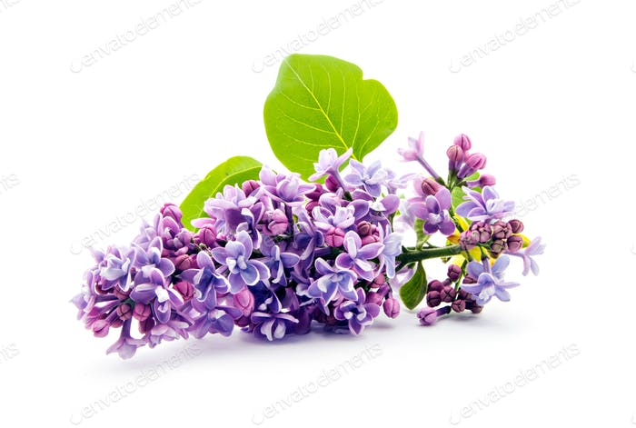 Branch of lilac (Syringa vulgaris) on white background