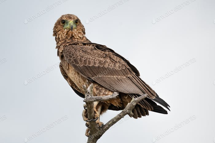 A juvenile bateleur, Terathopius ecaudatus, perches on a branch