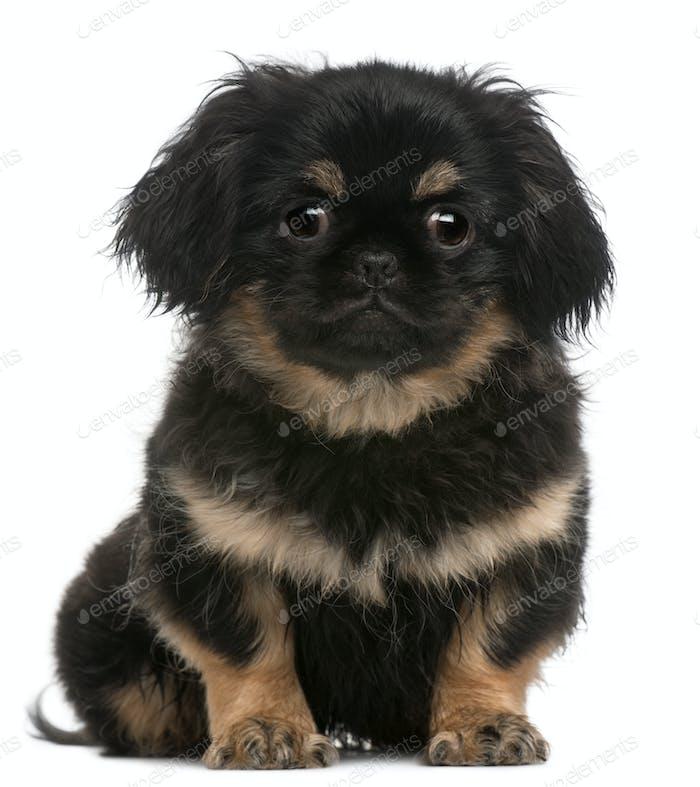 Pekingese puppy (4 months old)